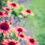 Proti bolesti, zánětu a nachlazení – s čím vším dokáže pomoci Echinacea