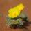Adaptogenní houby a rostliny – neobjevená síla přírody, díl. 12. – Tribulus terrestris